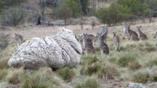 Photo from BBC.com. 'Chris' the sheep dwarves kangaroos in Australia.