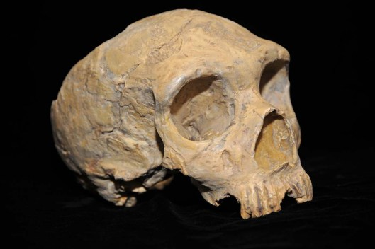 Neanderthal_skull_from_Forbes'_Quarry